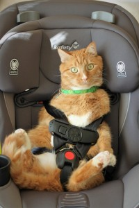 Unfortunately I cannot recommend this seat for orange tomcats. Crispy seems to be lacking shoulders, which hinders a proper fit. Sorry Crispy.